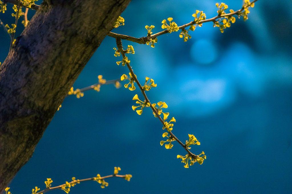 night, spring, ginkgo-5382923