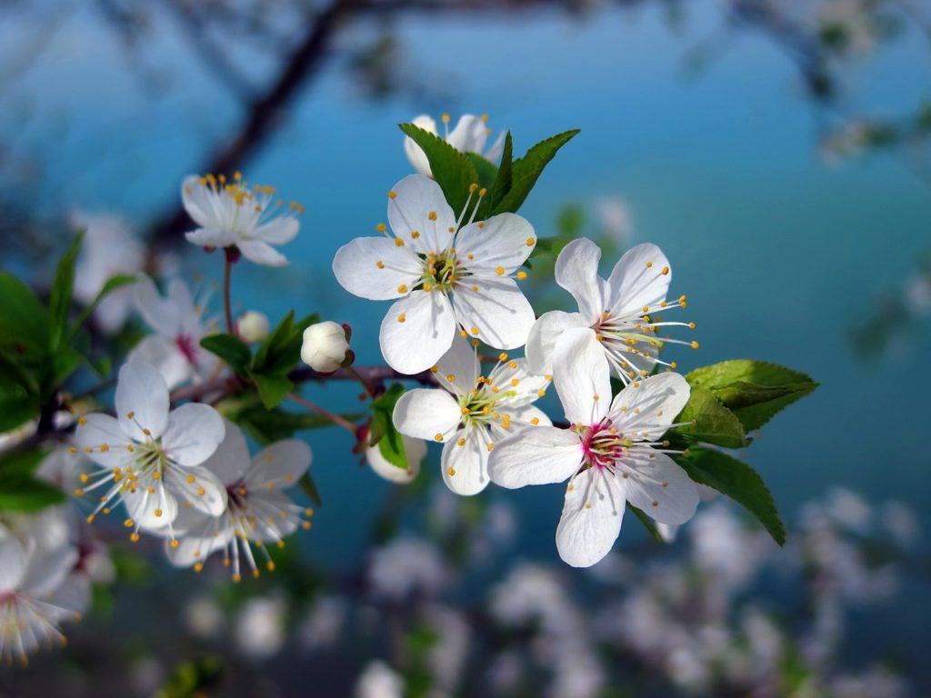 cherry tree, cherry blossom, spring-3109879